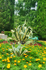 Striped American agave in a tropical park. Sochi Arboretum