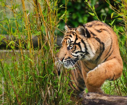 Portrait of Sumatran Tiger Panthera Tigris Sumatrae big cat - 43798700
