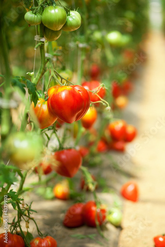 Many tomatoes growing in a glasshouse