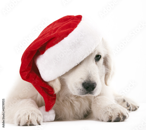 christams dog