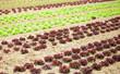 Beds of fresh lattuce on a farm