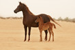Arabian Mare and foal in desert