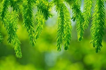 Background from young branches of a fir-tree in a sunlight