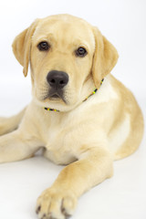 Beautiful puppy labrador dog