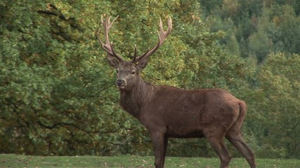 Male Red Deer in the Forest. Animal. Autumn
