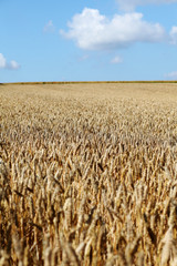 Wheatfield ready for harvest
