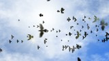 animated transition flying flock of pigeons with isolate alpha