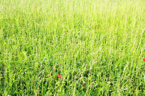 Feld mit Mohnblumen