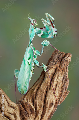 Mantis female