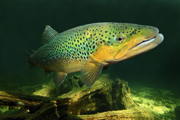 Underwater photo of The Brown Trout (Salmo Trutta).