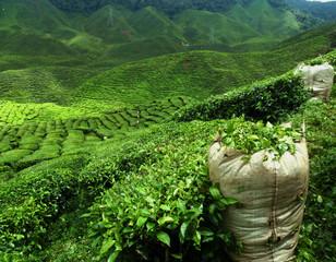 Zielona herbata plantation krajobraz