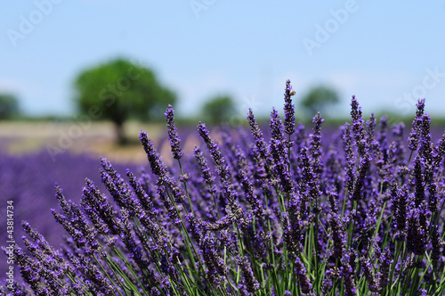 Lavender field. The plateau of Valensole in Provence - 43814734