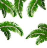 Set of palm leaves on white background  Vector illustration