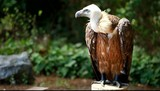 African white-backed vulture on green background