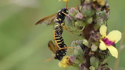 Braunwurzblattwespe - Tenthredo scrophulariae - Paarung