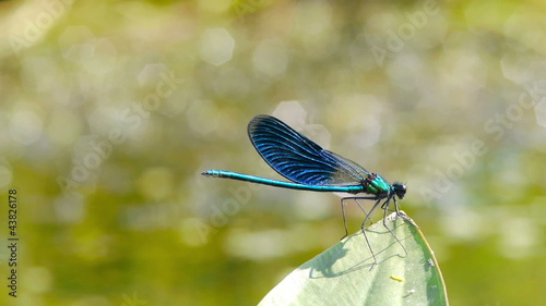 A dragonfly resting on a leave  by a pond