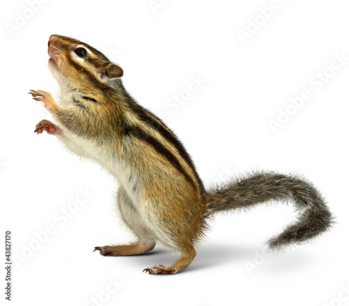 Fotobehang Eekhoorn Chipmunk isolated on white
