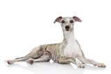 Whippet on white background
