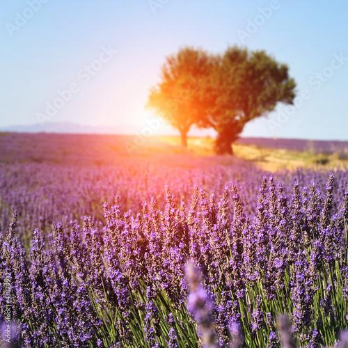 Lavendelfeld in Provence, Frankreich