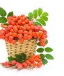 basket with berries rowan and wild roses on a white background