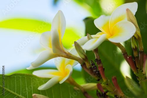 Foto op Canvas Frangipani Beautiful colours