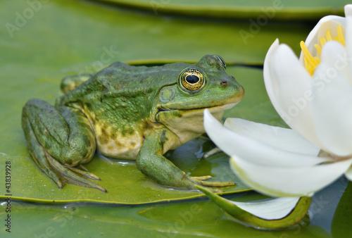 Fotobehang Kikker Marsh frog sits on a green leaf