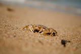 Crab on sand. copyspace.