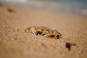 Crab on sand. copyspace.