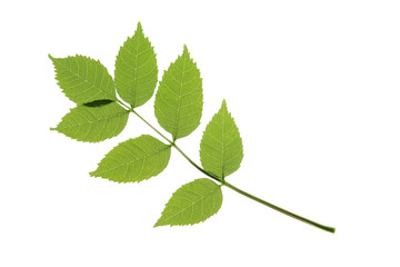 Esche - Fraxinus excelsior