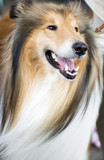 Tan and white Shetland Sheepdog