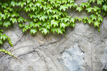 Stone wall and green ivy