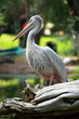 White pelican (Pelecanus onocrotalus) standing on grass