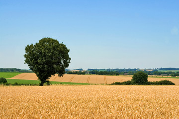 wheat field and tree