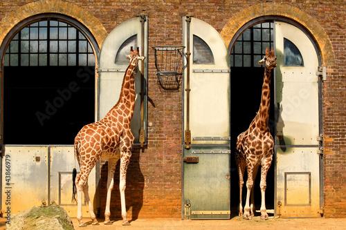 Giraffes at the London Zoo in Regent Park