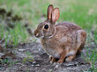 Cautious looking cottontail bunny rabbit