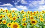 Fototapeta słonecznik - słonecznik - Kwiat