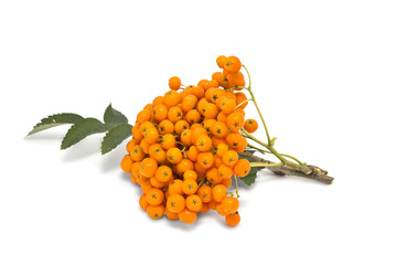 Ashberry cluster with  bright orange berry isolated on white bac