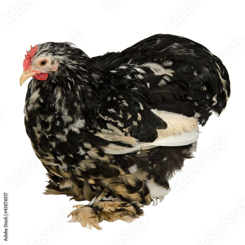Black and white speckled chicken
