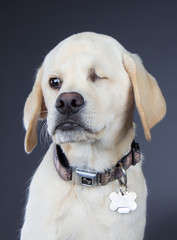 White dog wearing collar, with defective eye because of abuse