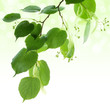 Fresh green linden leaves border isolated on white