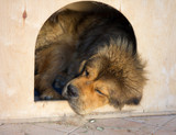 Tibetan Mastiff sleeps in a kennel poster