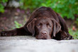 sad chocolate labrador retriever puppy