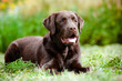 young chocolate labrador retriever puppy