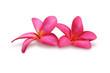 Two frangipani (plumeria) flowers