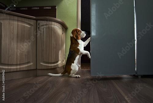 beagle in kichen