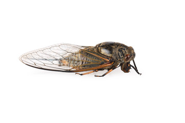 cicada isolated