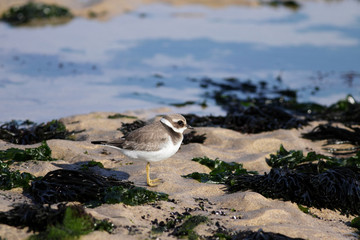 Beautiful plover