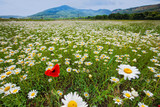Landscape of vast camomile field poster