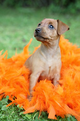 The Miniature Pinscher puppy