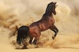 Purebred arabic stallion in desert - 43906966